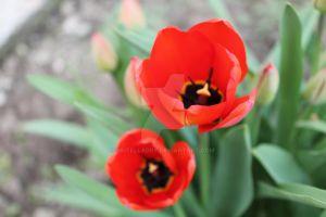 Red tulips by nutelladry