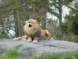 A Roaring Lion by MogieG123