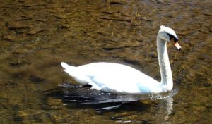 Swans 6 by Holly6669666
