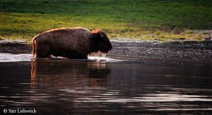 bison crossing the river by Yair-Leibovich