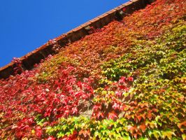 Autumn ivy wall by Santian69