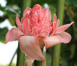 Rain Forest Plants 05 - Torch Ginger by fuguestock