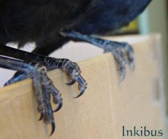 Crow raven bird feet by InKi-Stock