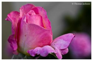 Pink Rose I by tjackson80