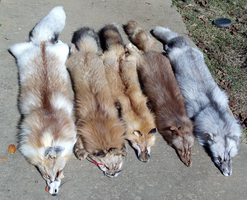 Fox Pelt Collection by TabbyFoxTaxidermy