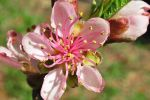 Peach Blossom by pinestater234