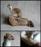 Least Weasle Mount by CabinetCuriosities