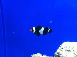 Clownfish by m-angel05