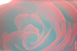 Roses are red II by parisky