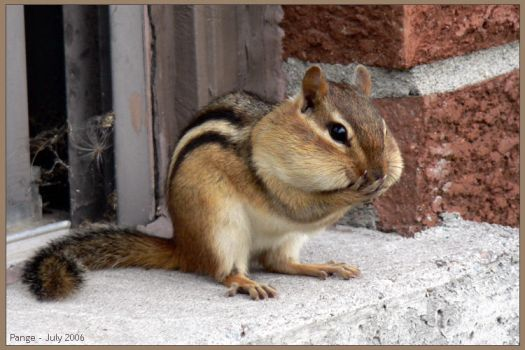 Chipmunk by pange