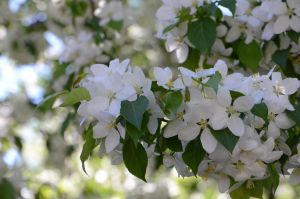 Stock: Apple-tree Blossoms 1 by Think-Outside-Of-Box