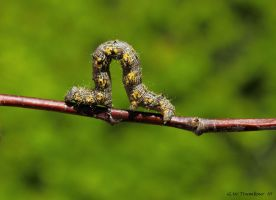 colorful inch worm 2 by natureguy