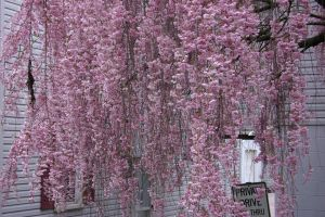 Same pink tree flowers by Bbird11