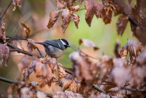 Great Tit by linneaphoto