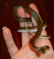 Gabriel, African House Snake by Phoenix-Cry