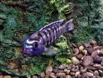 Female Electric Blue African Cichlid by Legrandzilla