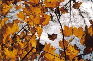 fall leaves by Sungreenandtangerine