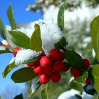 Snow Berries by Arany-Photography