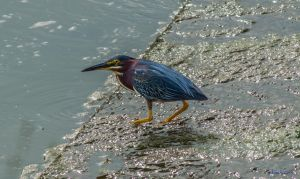 Green Heron by phbeks