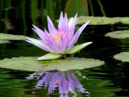 Lily Pad by dmguthery