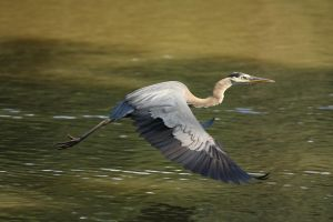 Heron in Flight by froggynaan