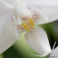 White Orchid - Detail by Engelsblut24