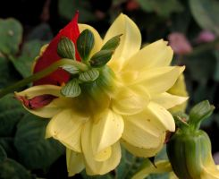 Struggling Dahlia in Fall by JocelyneR