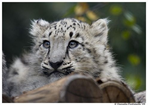 Baby Snow Leopard VI by TVD-Photography