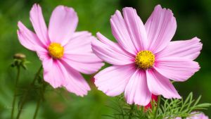 Cosmos (wallpaper version 1080p) by OliverBPhotography