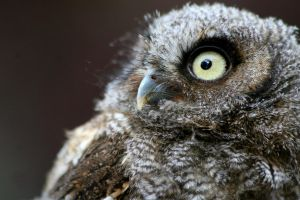 Young Screech Owl by Tinap