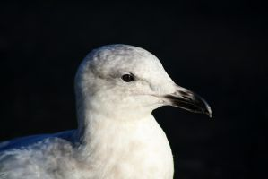 seagull by ringmale
