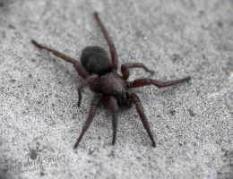 Big Black Spider - I need your help by TheFunnySpider