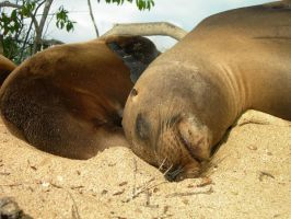Another Galapagos Sea Lion by Serendith