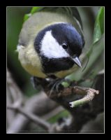 Parus major (004) - Hi there! by Sikaris