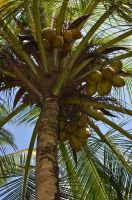 Coconuts by jennystokes