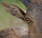 Aoudad Squared by MorrighanGW