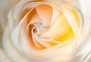 Ivory Rose by hk-passey