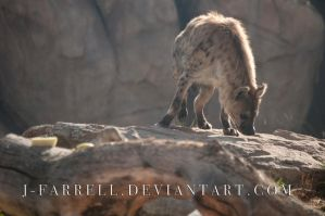 Spotted Hyena 2 by J-Farrell