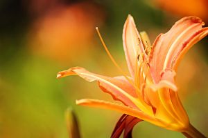 Orange flower. by Lyien