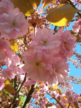 Cherry Blossoms - 2 by pwassonne