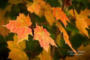 Maple Leaves by AEisnor