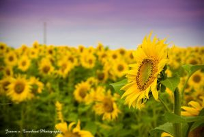 sunflower 2 by JeRReZ