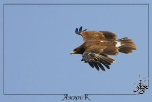 golden-eagle by AMROU-A