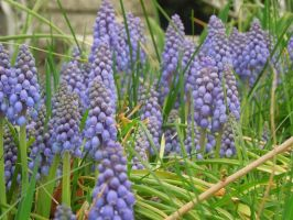 Grape Hyacinths by morningstarskid