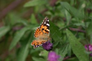 Monarch Butterfly 008 by MurfQ-Stock