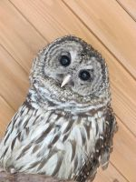 Hamlet the Barred Owl 2 by Windthin