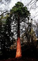 KenmureCastle5: redwood by Coigach