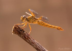 Yellow Dragonfly by Hatch1921