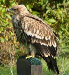 Bird 295 - Imperial eagle profile by Momotte2stocks