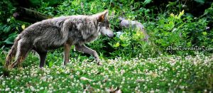 mexican wolf 1 by catfuret
